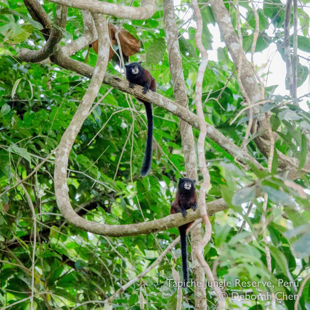 Saddleback tamarin at the Tapiche Jungle Reserve, Peru