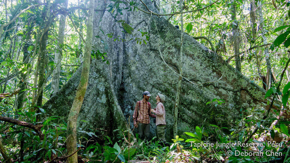 Marveling at one of the giant huimba trees at the Tapiche Jungle Reserve, Peru
