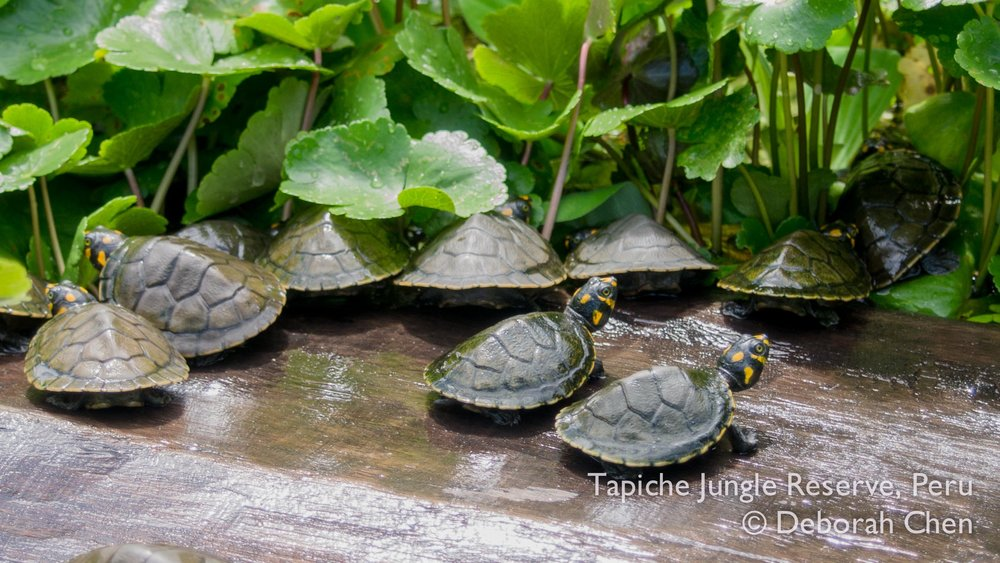 Tapiche-Amazon-Jungle-Tour-Peru-taricaya-turtle-release-2.jpg