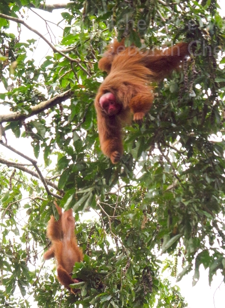 Tapiche-Amazon-Jungle-Tour-Peru-Red-Uakari-Hanging.jpg