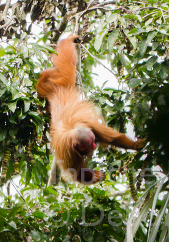 Tapiche-Amazon-Jungle-Tour-Peru-Red-Uakari-chimbillo.jpg