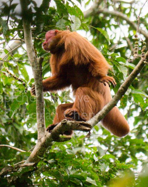 Tapiche-Amazon-Jungle-Tour-Peru-uakari-standing.jpg
