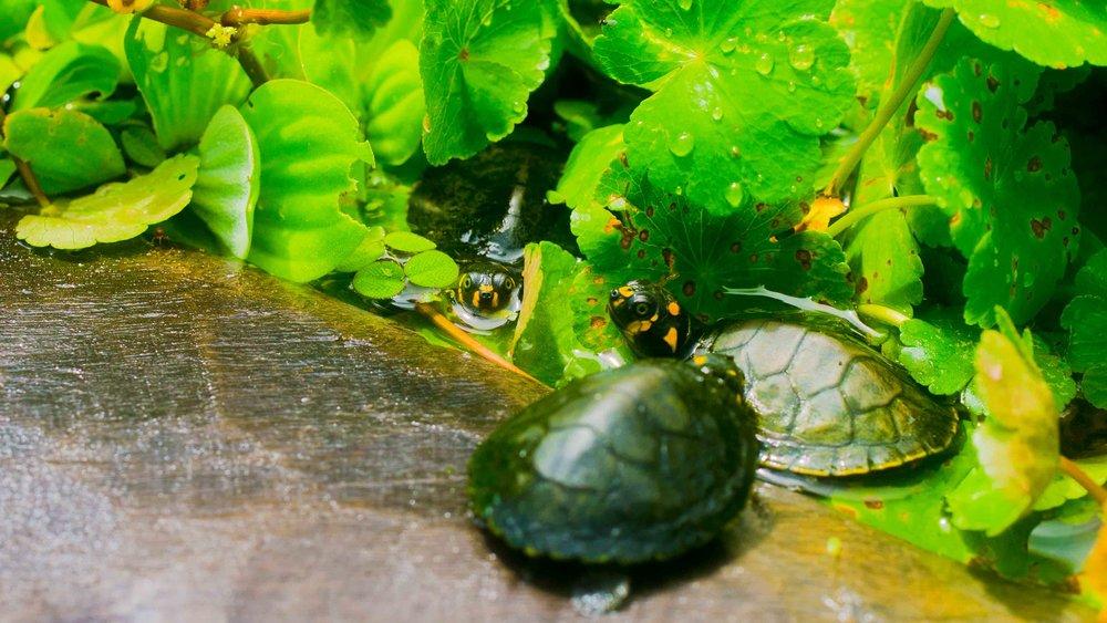 Tapiche-Reserve-Peru-Taricaya-Turtle-Rescue.jpg