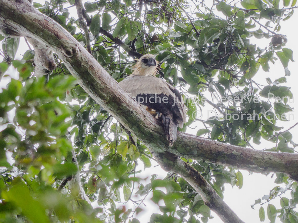 Tapiche-Amazon-Jungle-Tour-Peru-Harpy-Eagle-1.jpg