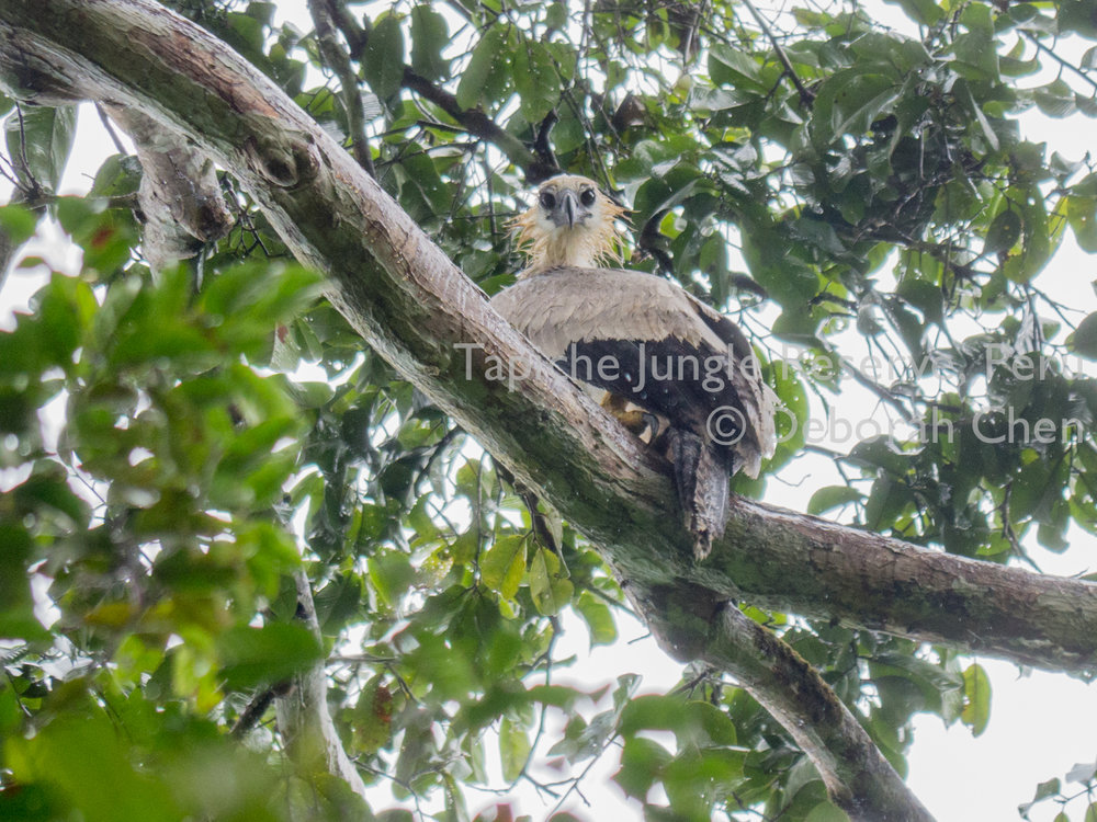 Tapiche-Amazon-Jungle-Tour-Peru-Harpy-Eagle-2.jpg