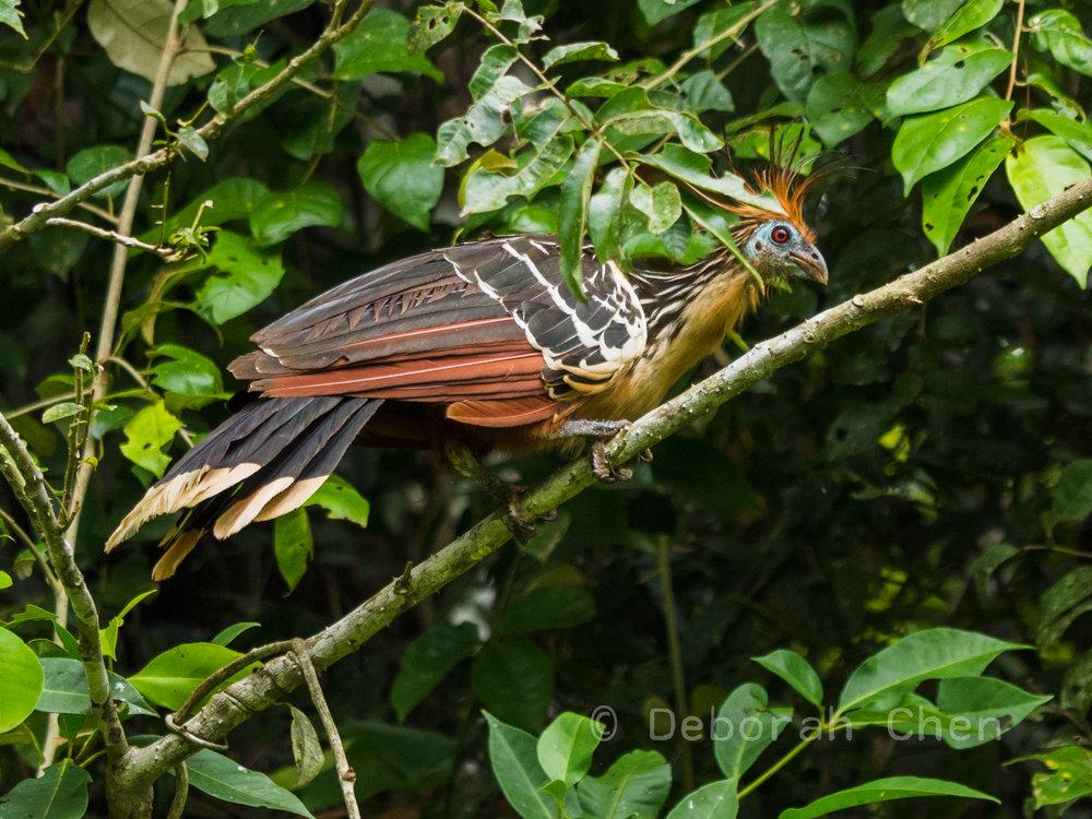 Hoatzin ( Ophisthocomus hoazin )
