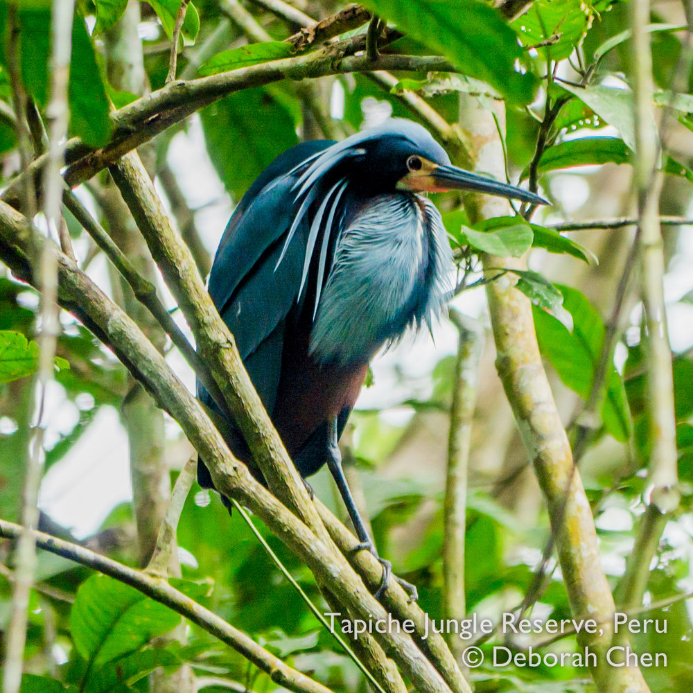 Agami Heron showing courtship crest and flushing lore at Tapiche Jungle Reserve, Peru