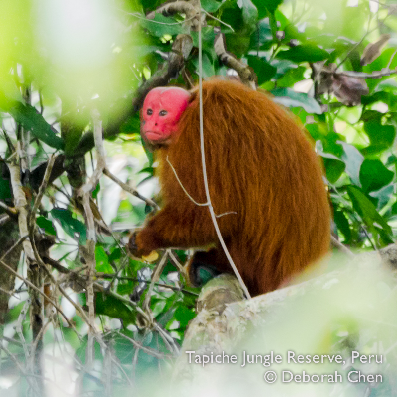 Red bald uakari monkey holding green fruit, viewed from Canopy Observation Tower at Tapiche Jungle Reserve, Peru
