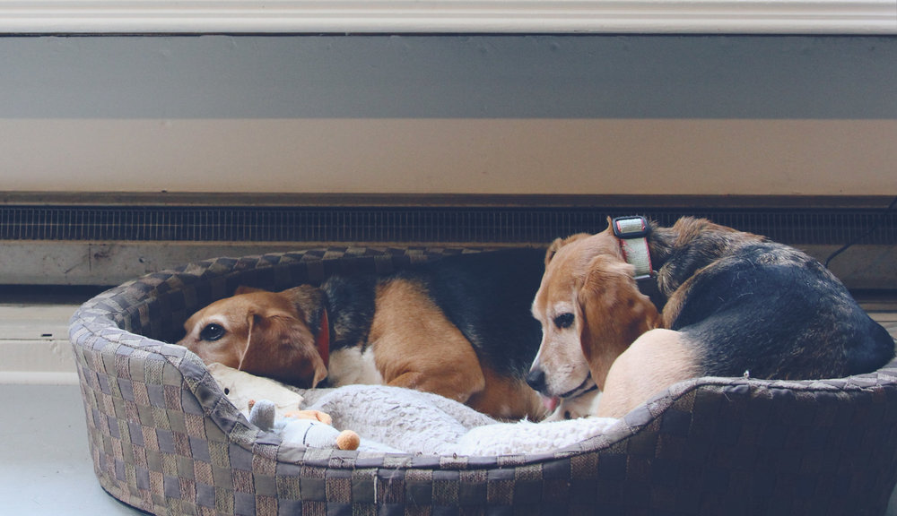 There's something about a beagle – Frannie and Gertie (rescues from Beagle Freedom Project) relaxing in the studio.