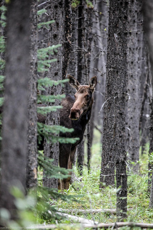 Female Moose in woods near Lake Maligne Alberta Canada