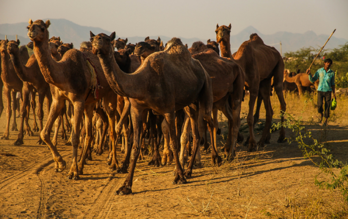 Puskkar Camel Fair  - Camels on the move