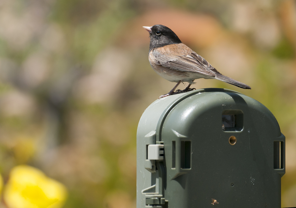 Dark-eyed Junco ♂
