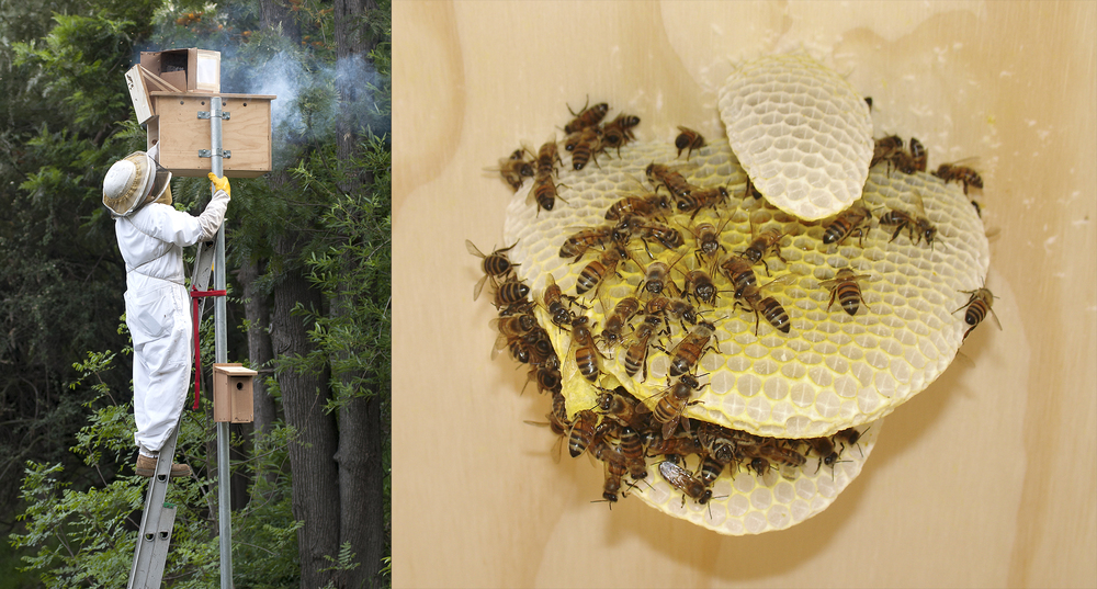 A swarm of European Honey Bees took up residents in one of the GNG Barn Owl Boxes and was quickly re-located.