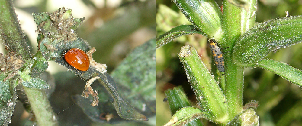 Adult ladybug (left) and ladybug nymph (right) patrolling for aphids.