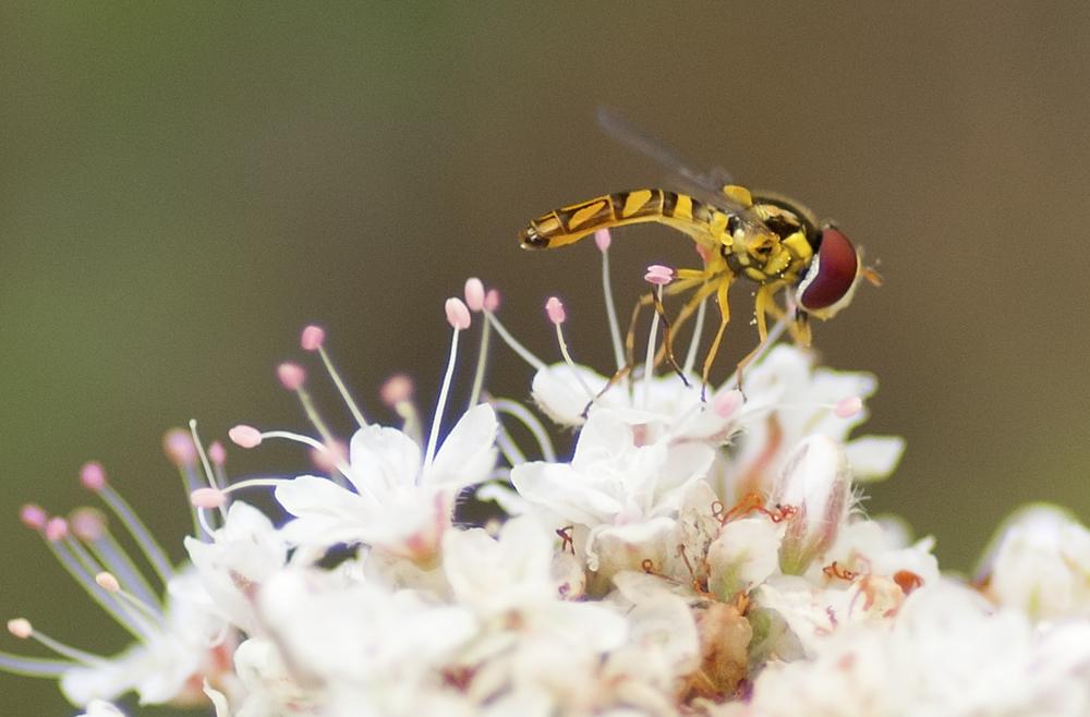 Hoverfly - Allograpta obliqua