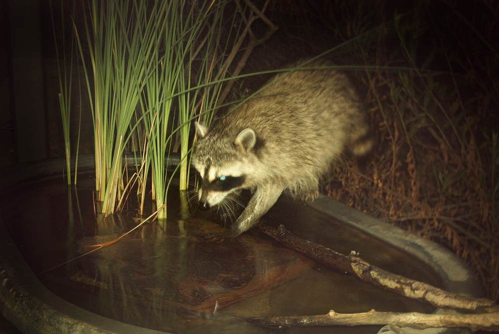 Northern Raccoon – 1:16 am