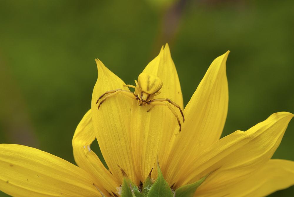 Whitebanded Crab Spider - Misumenoides formosipes ♀