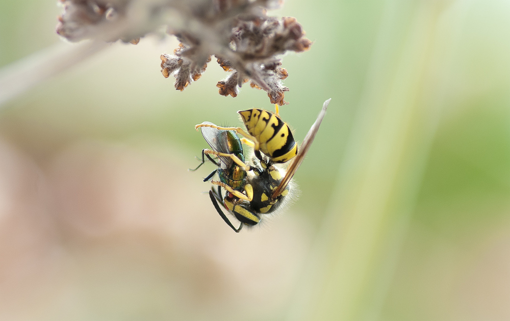 Yellow Jacket - Vespula pensylvanica grasping a Green Bottle Fly - Lucilia sericata