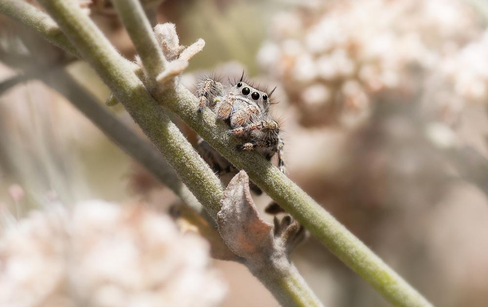 Jumping Spider - Phidippus californicus