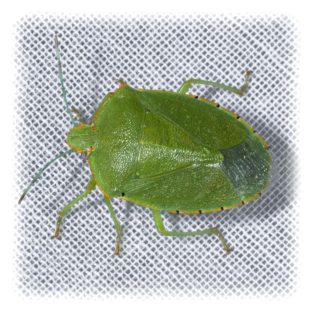 Uhler's Stink Bug - Chlorochroa uhleri