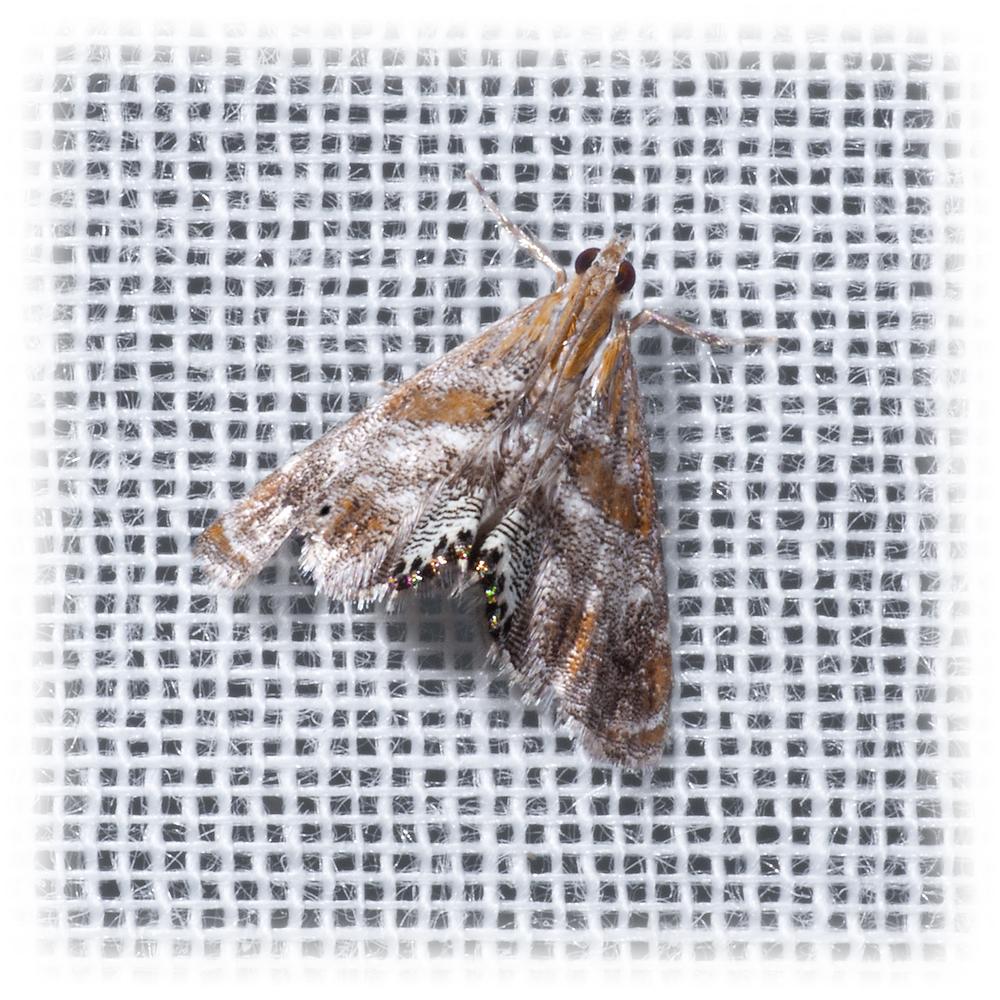 Crambid Snout Moth - Petrophila jaliscalis