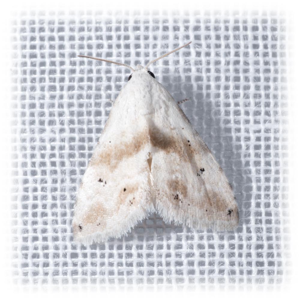 Everlasting Bud Moth - Eublemma minima