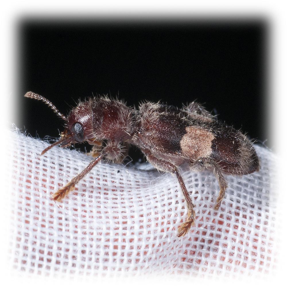 Checkered Beetle - Enoclerus quadrisignatus