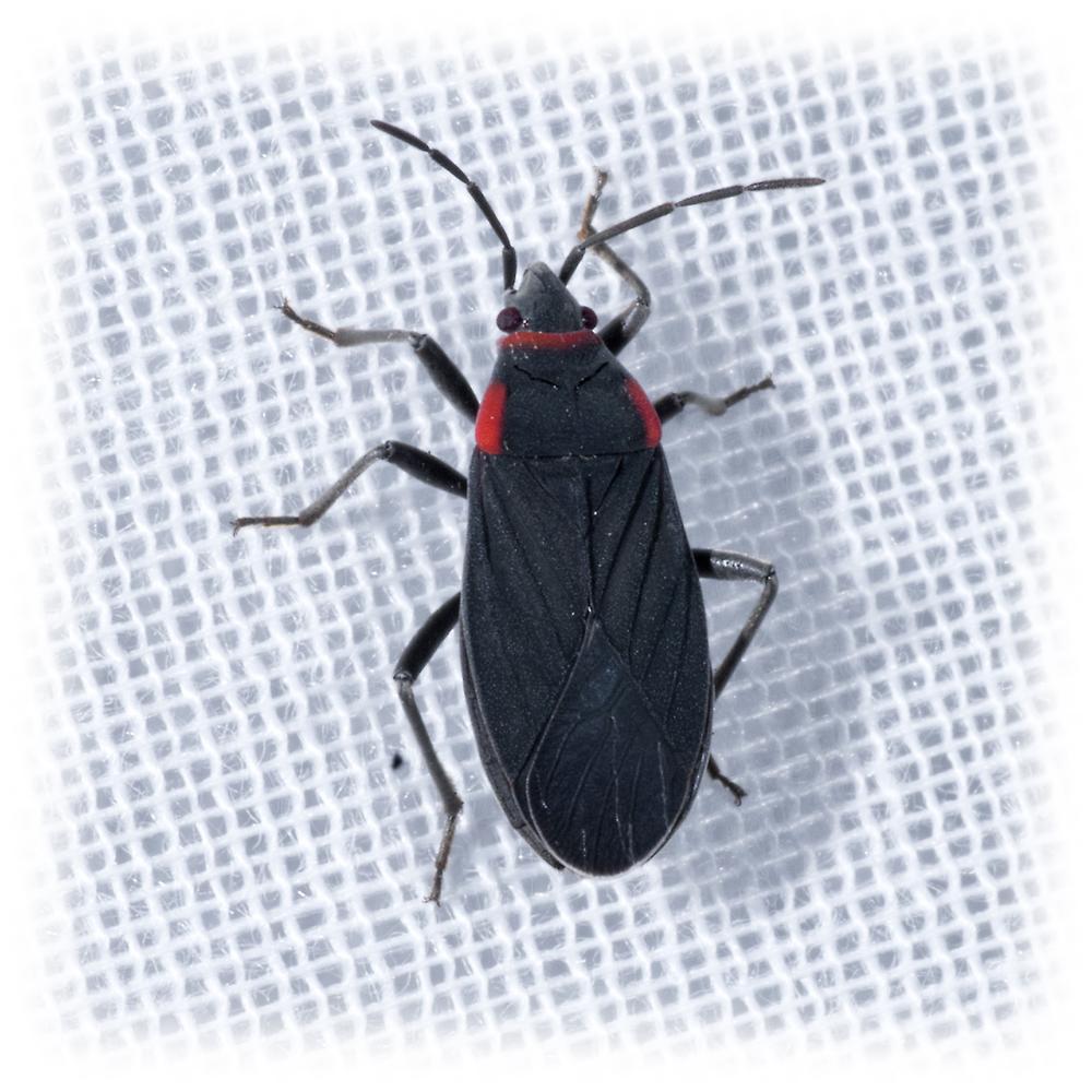 Seed Bug - Melacoryphus rubicollis