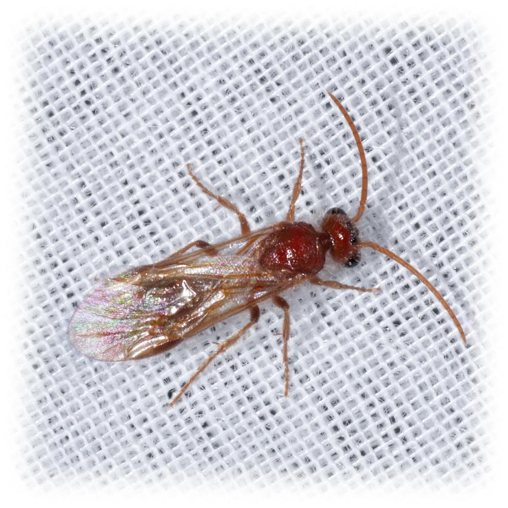 Velvet Ant  - Sphaeropthalminae sp. ♂