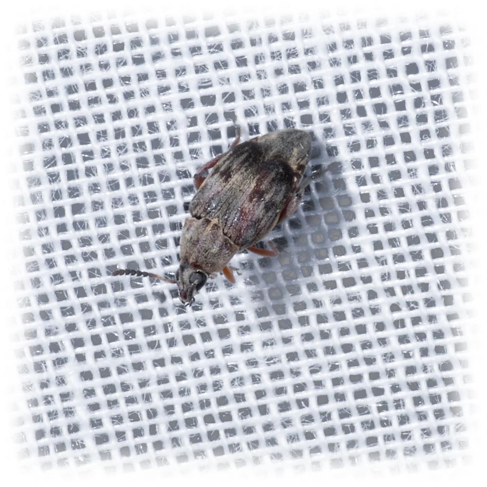 Leaf Beetle - Mimosestes amicus