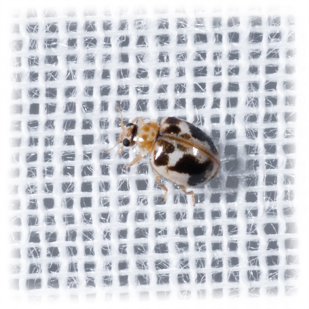 Kidney-spotted Psyllobora - Psyllobora renifer