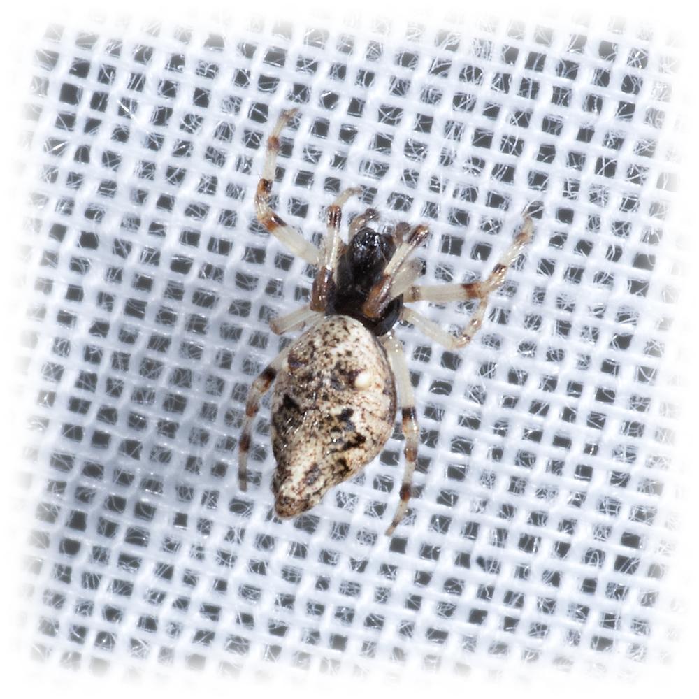 Trashline Orbweaver Spider - Cyclosa turbinata