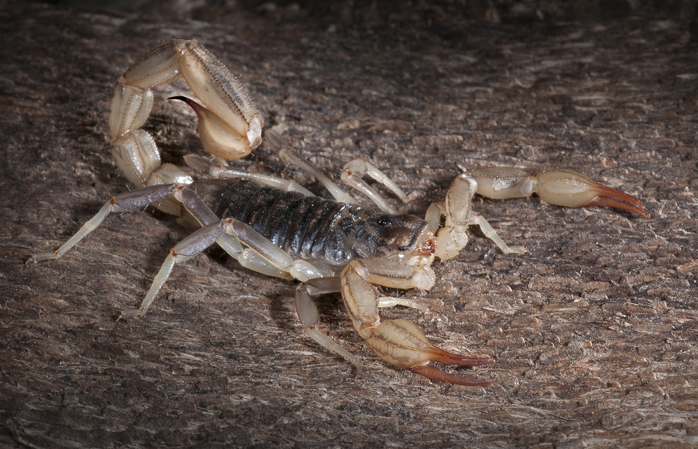 Silvestri's Scorpion -Paruroctonus silvestrii