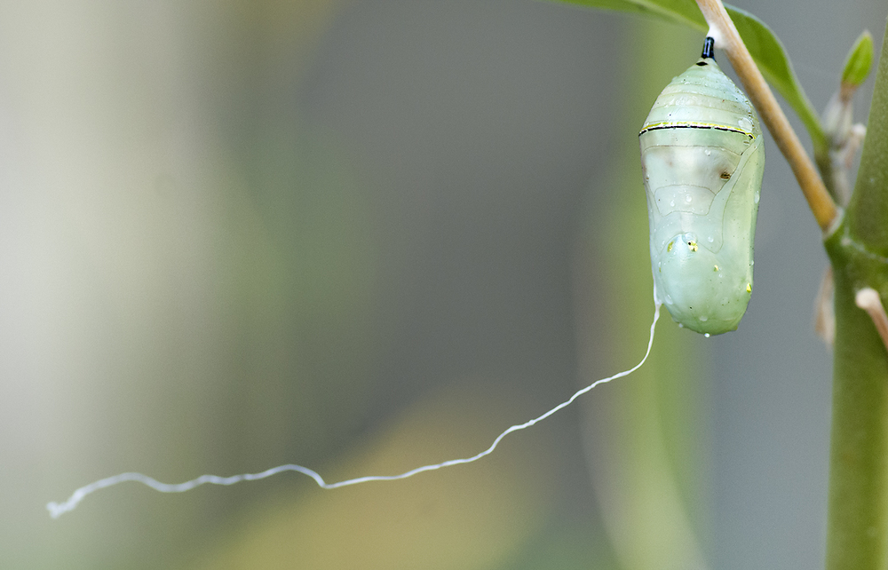 The tell-tale white strand is left blowing in the breeze after a tachinid fly larvae rapelled to the ground below.  Unfortunately, this chrysalis is doomed.