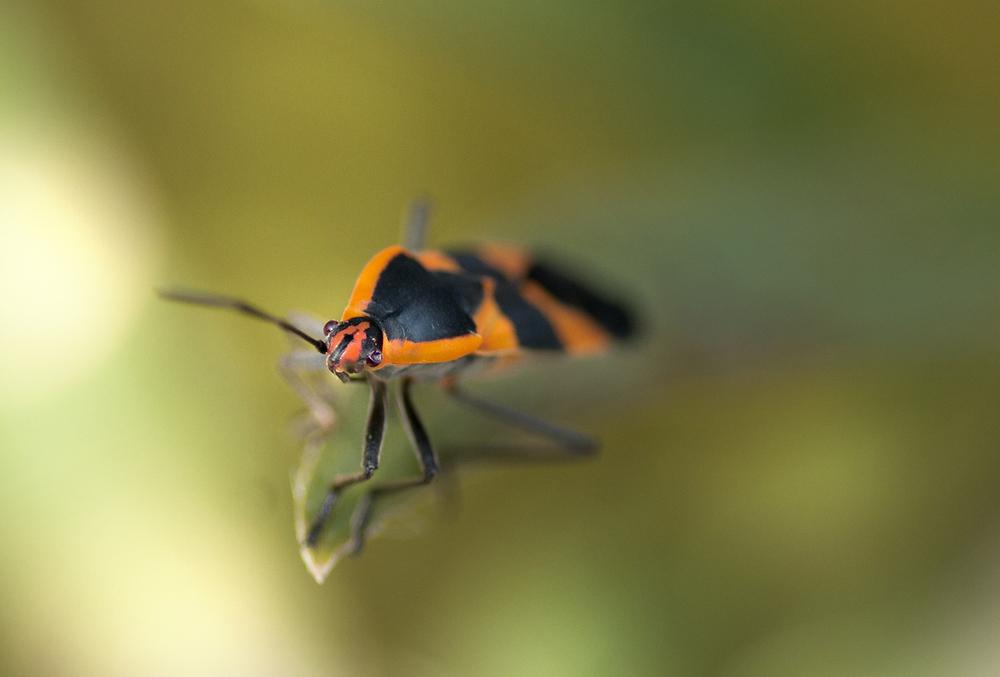 Large Milkweed Bug -Oncopeltus fasciatus
