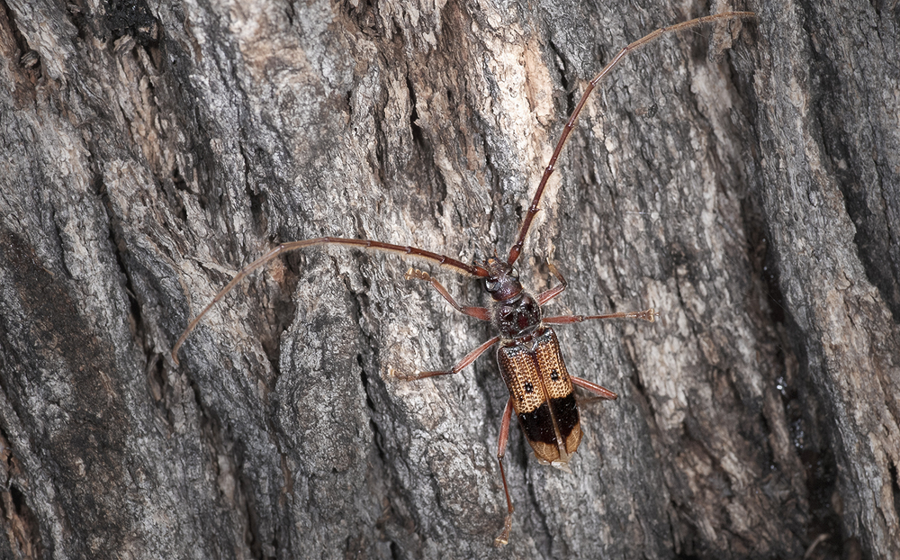 Eucalyptus Longhorned Borer - Phoracantha recurva