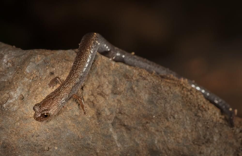 Garden Slender Salamander -Batrachoseps major major