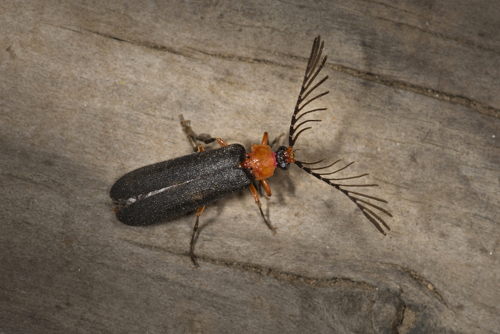 Firefly - Pterotus obscuripennis♂