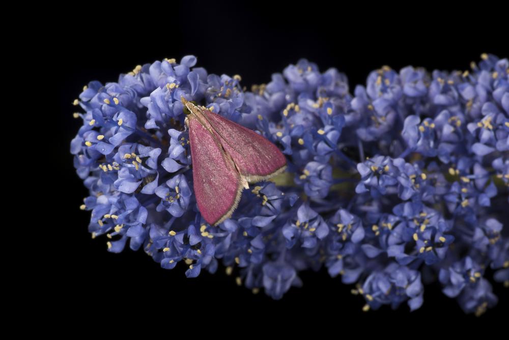 Inornate Pyrausta Moth - Pyrausta inornatalis
