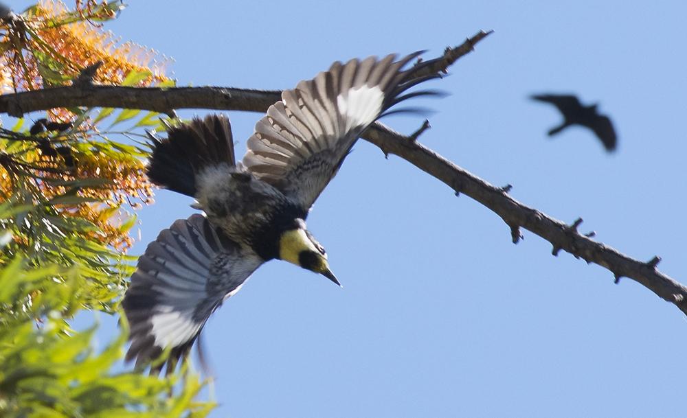 Acorn Woodpecker and Common Raven