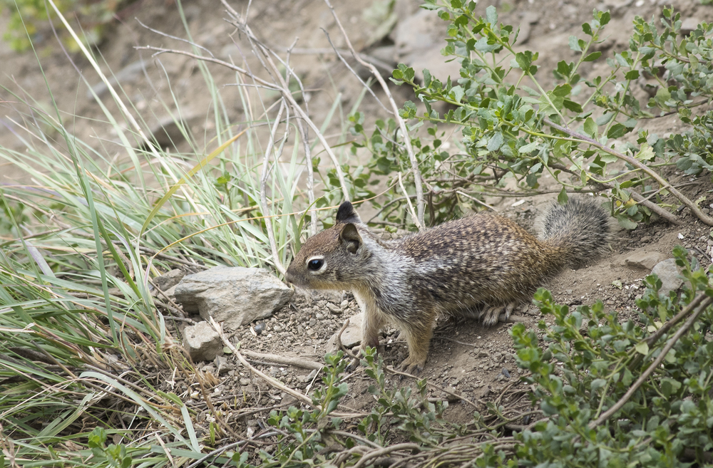 California ground squirrel- Otospermophilus beecheyi