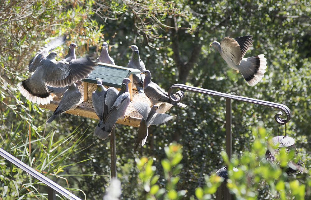 Band-tailed pigeons and one mourning dove making an exit at lower right.