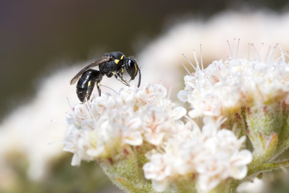 Yellow masked bee - Hylaeus sp. ♀ on Eriogonum fasciculatum flower.