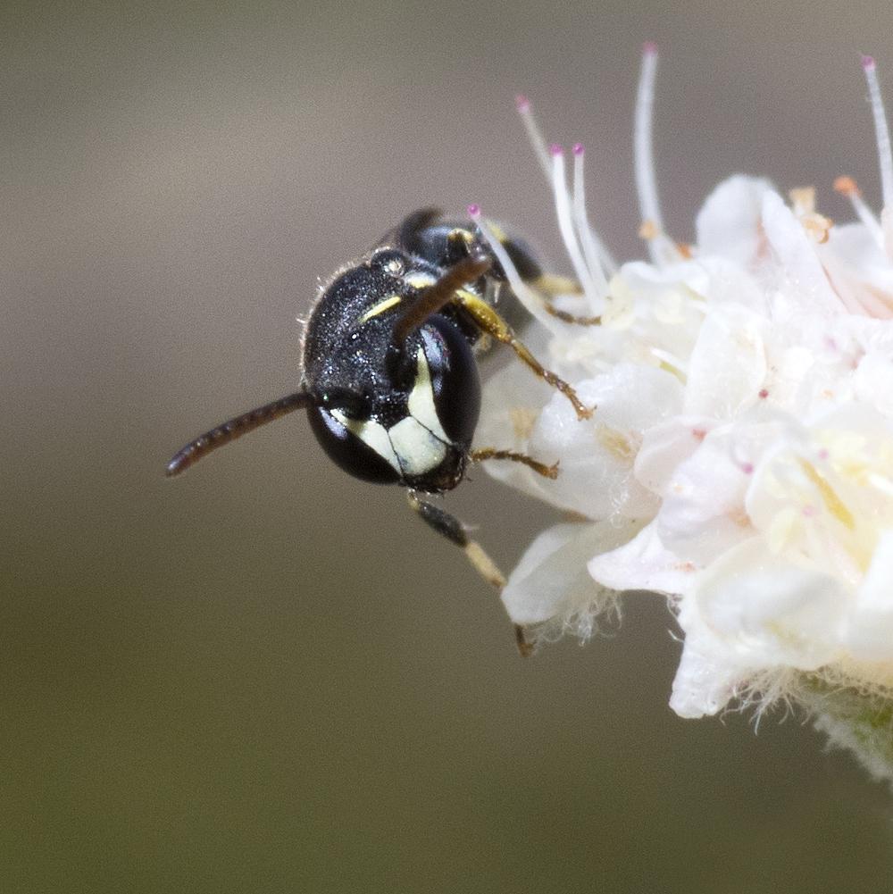 Hylaeus sp.♂