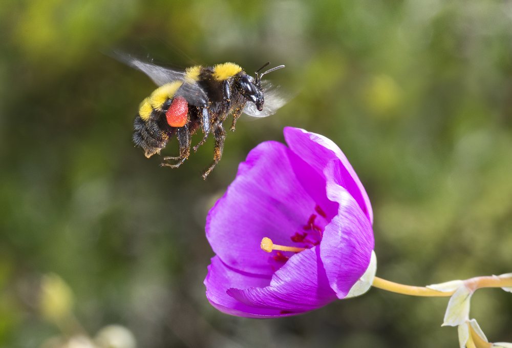Sonoran bumble bee - Bombus sonorus♀