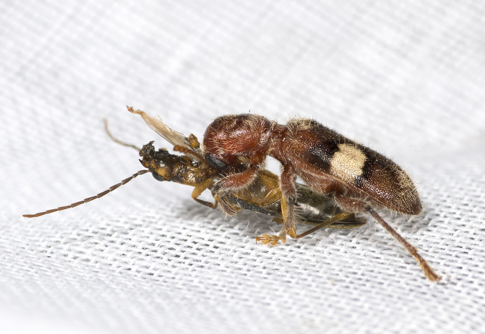 Checkered beetle - Enoclerus quadrisignatus (top) and soldier beetle – Xanthochroina bicolor (bottom).