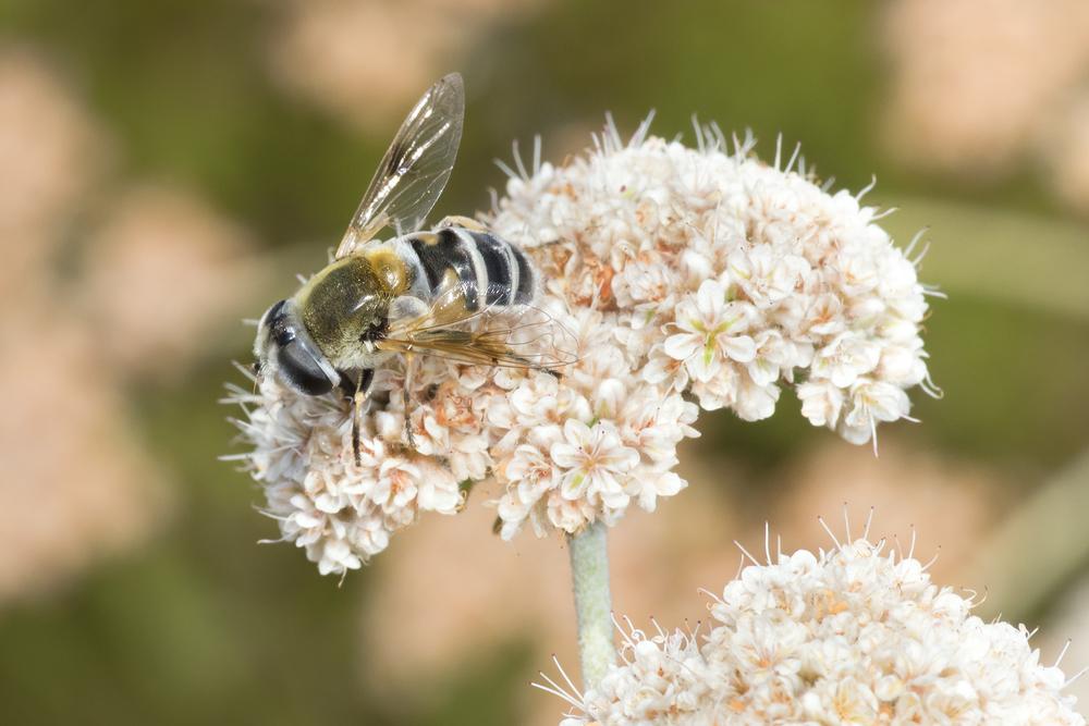 Syrphid Fly - Eristalis stipulator ♀