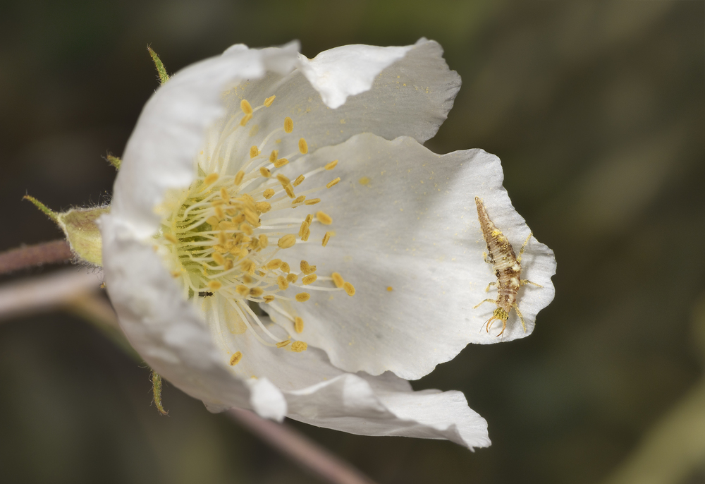 Pollen-covered lacewing larvae on Apache Plume Flower