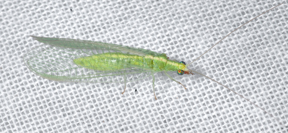 Adult green lacewing -Chrysopidae Sp.
