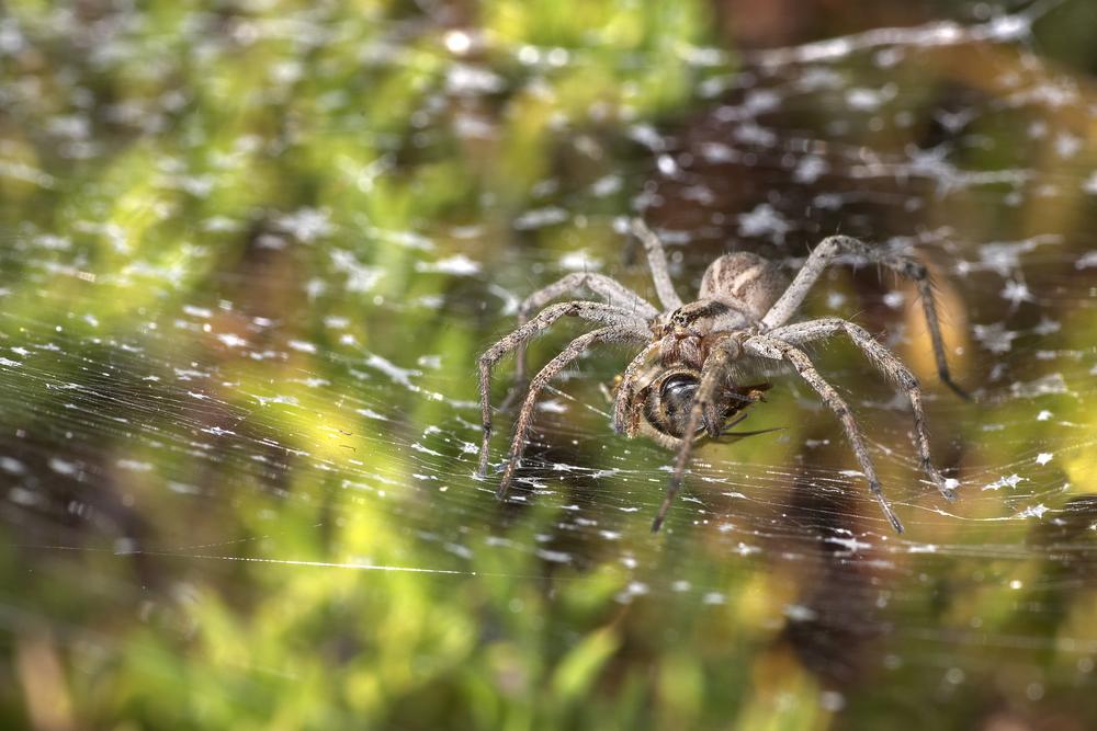 Grass spider – Agelenopsis sp.